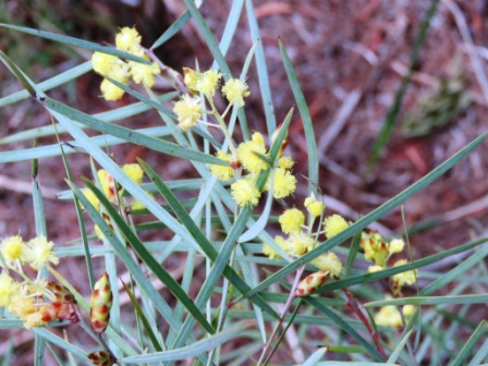 Acacia iteaphyllla
